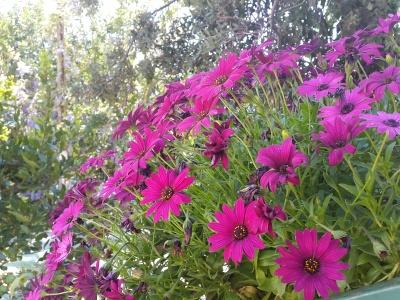 Andro Desin, Dubrovnik - Naše proljetno cvijeće
